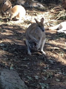 What could be more Australian than a kangaroo with her joey?